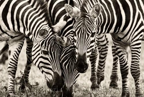 Zebra_1958_1-2.jpg