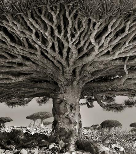 le-dragonnier-de-socotra-un-arbre-endemique-de-l-le-de-socotra-situee-en-mer-d-arabie-au-yemen_68651_w620.jpg