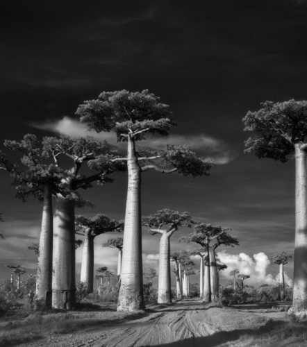 une-avenue-de-baobabs_68652_w620.jpg