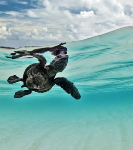e-place-revient-a-cette-petite-tortue-qui-entame-son-premier-voyage-dans-les-eaux-du-lakshadweep-elle-a-ete-photographiee-par-l-indien-sumer-verma_65470_w460.jpg