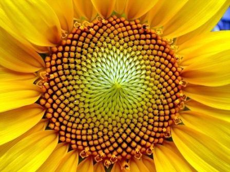 fibonacci,spirales,escargot,tournesol,ananas