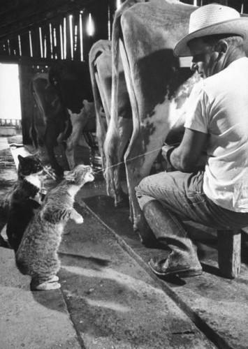 lait,sein,giclée,chat