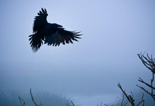 corbeau,expériences